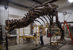 T. rex Trix being fossil being assembled at the Black Hills Institute (Photo: Business Wire)