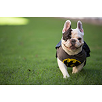 Manny to the rescue! Instagram star Manny the Frenchie, who has 1 million followers, channels his inner superhero with the new Batman costume from PetSmart. This costume is part of a wide selection of Halloween costumes, treats and accessories now available at PetSmart stores across North America and on petsmart.com. (Photo: Business Wire)