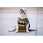 Holy macaroons, Batman! Instagram star Manny the Frenchie takes a break from his superhero work to gobble up the Thrills & Chills fall-themed macaroon treats from PetSmart. The crumbs speak for themselves. (Photo: Business Wire)