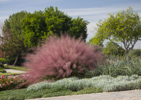 Stately and showy foliage, with exceptional upright and slightly arching form, Plumetastic™ Pink Muhly Grass' glittering clouds of vivid purple-pink plumes emerge in late summer and persist through fall. It has an outstanding texture for specimen plant or en masse in borders, meadows, and native gardens. This beauty is also part of the Monrovia Collection and is a Village Nurseries semi-exclusive. (Photo: Business Wire)