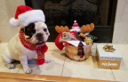 """Manny the Frenchie, social media celebrity with one million followers on Instagram, got a sneak peek at PetSmart's 2016 holiday collection. Some of his favorite items include the festive Knit Dog Scarf and Hipster Reindeer Dog Sweater that match perfectly with the iconic """"Manny glasses"""" he often wears. PetSmart's holiday collection hits stores next month. (Photo: Business Wire)"""