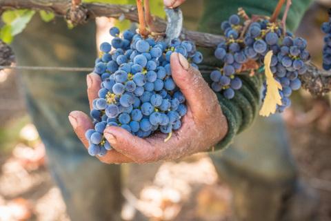 2016 Napa Valley Harvest (Photo: Bob McClanahan, Napa Valley Vintners)