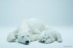 Polar bear 2 (Photo: Business Wire)