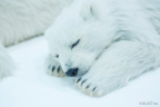 Polar bear 4 (Photo: Business Wire)