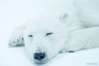 Polar bear 3 (Photo: Business Wire)