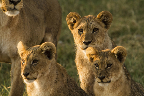 Battle for the Pride premieres Monday, Feb. 20, at 9/8c as part of Nat Geo WILD's Big Cat Week (photo credit: NHFU)
