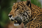 Jaguar: Supercat premieres Tuesday, Feb. 21, at 9/8c as part of Nat Geo WILD's Big Cat Week (photo credit: Science Photo Library)