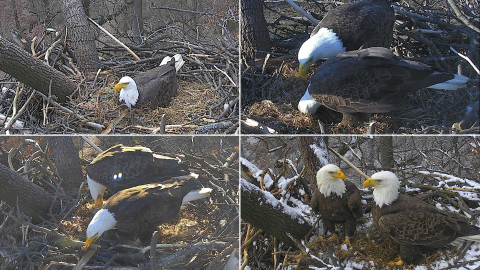 The moment has finally arrived for the world's favorite pair of Bald Eagles, Mr. President & The First Lady, to welcome eggs and eaglets into their nest once again. Tune into dceaglecam.org to watch these eagle parents raise another family from within our nation's capital! Photos © 2017 American Eagle Foundation