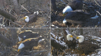 The moment has finally arrived for the world's favorite pair of Bald Eagles,Mr. President & The First Lady,to welcome eggs and eaglets into their nest once again. Tune into dceaglecam.org to watch these eagle parents raise another family from within our nation's capital! Photos© 2017 American Eagle Foundation