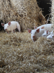 Pigs at a Karro farm in the UK. (Photo: Business Wire)
