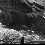 Famous Bald Eagle Pair Mr. President & the First Lady Have Welcomed the First Egg of 2017 into Their Washington DC Nest