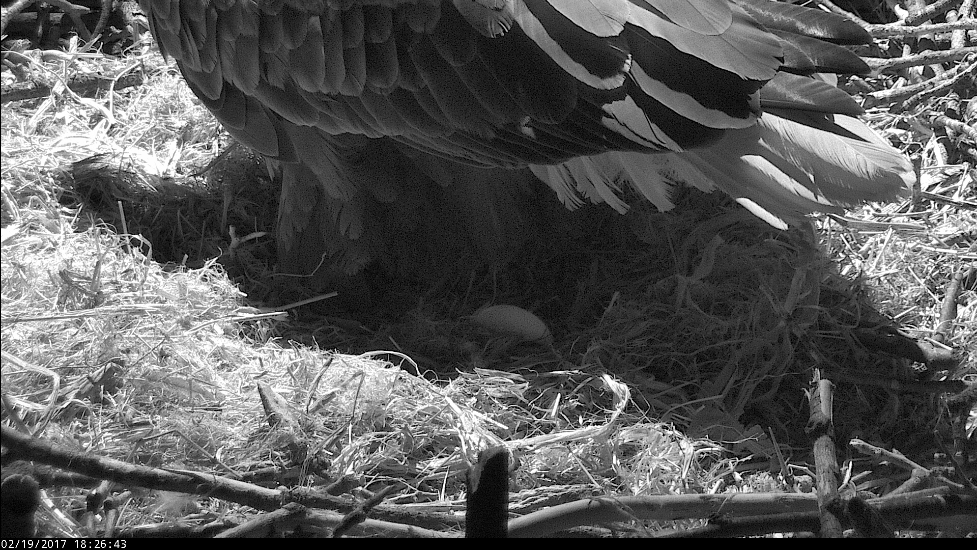 Bald Eagle live stream shows first egg of the season