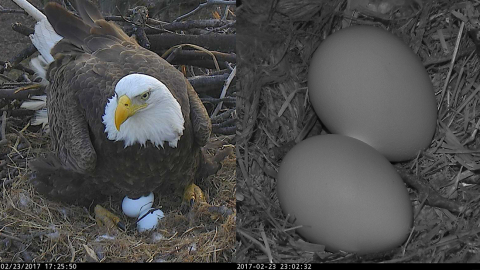 "AEF American Bald Eagle, named ""First Lady,"" laid her first egg of 2017 LIVE on the DC Eagle Cam (dceaglecam.org). The world has been watching and waiting to see if she and her faithful eagle companion, Mr. President, would have the chance to raise two eaglets again in 2017, and now that opportunity has arrived. (Photo: Business Wire)"