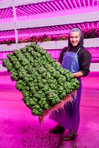 Philips Lighting and Ecobain Gardens Transform First Commercial Vertical Farm Operation in Canada. (Photo: Business Wire)
