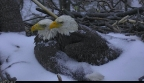 'The First Lady' and 'Mr. President' shelter their eggs from Winter Storm Stella. Photo (C) 2017 American Eagle Foundation