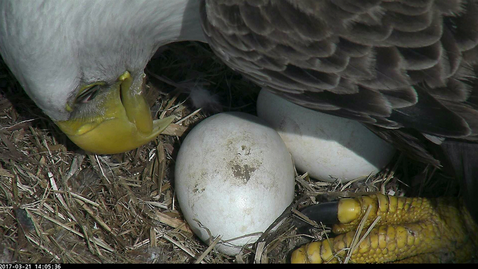 Viewers from around the globe are now on 'hatch-watch' anticipating the arrival of two adorable bald eaglets in our nation's capital. (Photo: Business Wire)