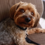 Nick Lachey's dog, Wookie. Photo: Zoetis.