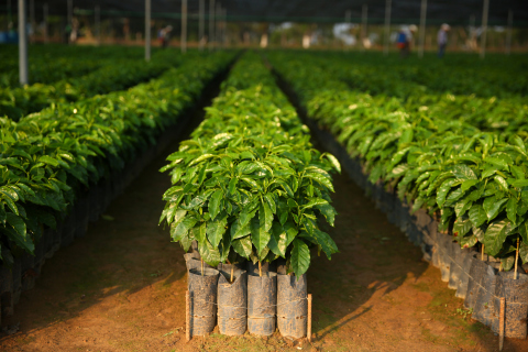 Starbucks Is Fighting For The Future Of Coffee By Providing 100 Million Healthy Coffee Trees By 2025, April 17 (Photo: Business Wire)