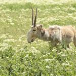Morris Animal Foundation to Help Critically Endangered Mongolian Saiga