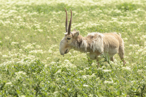 Morris Animal Foundation is fighting to save the critically endangered saiga antelope with an emerge ...