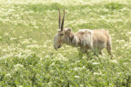 Morris Animal Foundation is fighting to save the critically endangered saiga antelope with an emergency grant from its Betty White Wildlife Rapid Response Fund which funds critical health studies. (Photo: Business Wire)