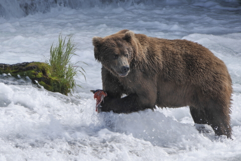 Brown bear catching salmon in Brooks Falls Katmai National Park and Preserve, Alaska. Courtesy of Gareth Wildman.
