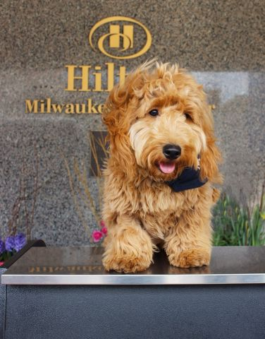 When you stay at the Hilton Milwaukee City Center for Memorial Day, you can also visit Millie, the hotel's canine concierge, for a snuggle or two. (Photo: Business Wire)