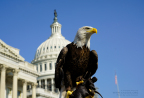 Challenger, the celebrity bald eagle, poses majestically during a visit to the United States Capitol Building. This famous eagle is cared for by the non-profit American Eagle Foundation (www.eagles.org) of Tennessee. Photo © 2017 American Eagle Foundation. All Rights Reserved. Photo by Julia Cecere