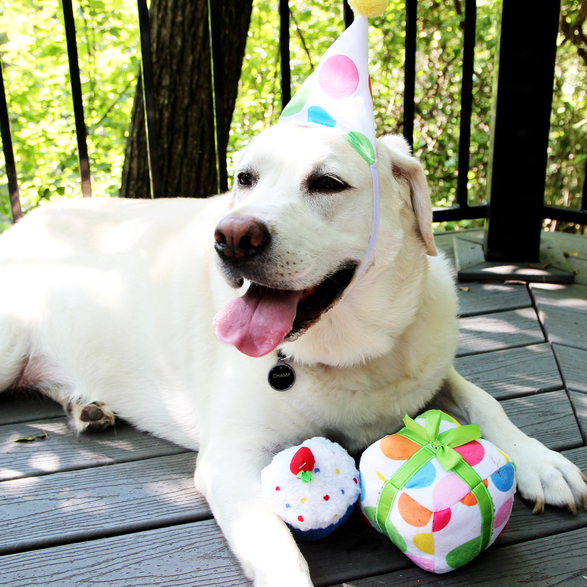 """Champ smiles for the camera at his recent birthday party with his favorite toys from PetSmart's newly launched and first-ever Birthday Collection. The festive new line offers an assortment of toys, treats, apparel and accessories available year-round to help pet parents celebrate birthdays and """"Gotcha Days"""" - the day a pet was adopted. (Photo: Business Wire)"""