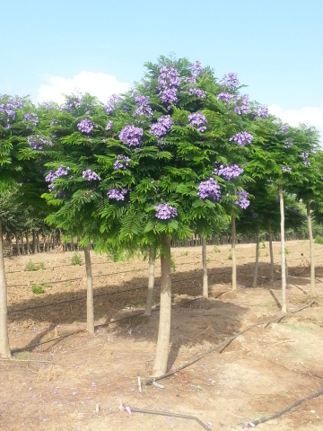Jacaranda 'Bonsai Blue' in standard upright form. A new fast-growing dwarf Jacaranda with vivid purple blooms late spring to early summer and bright, fern-like foliage. (Photo: Business Wire)