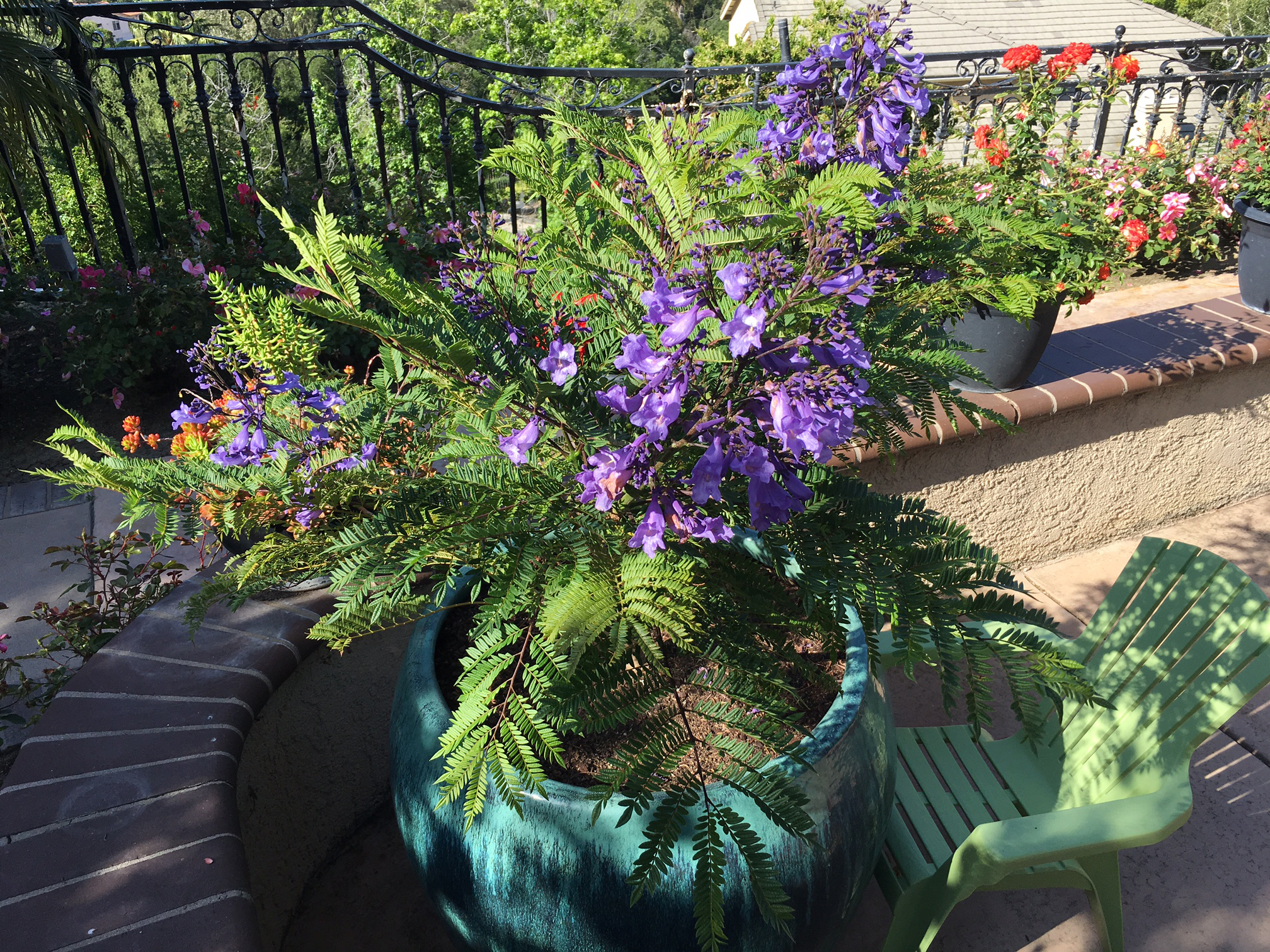 Village Nurseries And Star Roses And Plants Expand Agreement With New Varieties Including World S First Dwarf Jacaranda Business Wire