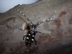 Asian longhorned beetle with round exit hole. (Photo: USDA)