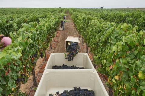 Mumm Napa begins Napa Valley grape harvest (Photo: Business Wire)