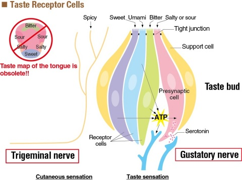Taste Receptor Cells (Graphic: Business Wire)