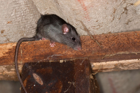 Terminix Releases Top 15 Roof Rat Cities List (Photo: Business Wire)