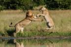 A tense moment between a lion couple in Savage Kingdom: Uprising, premiering Black Friday, Nov. 24, 9/8c on Nat Geo WILD. (Photo: Nat Geo WILD)