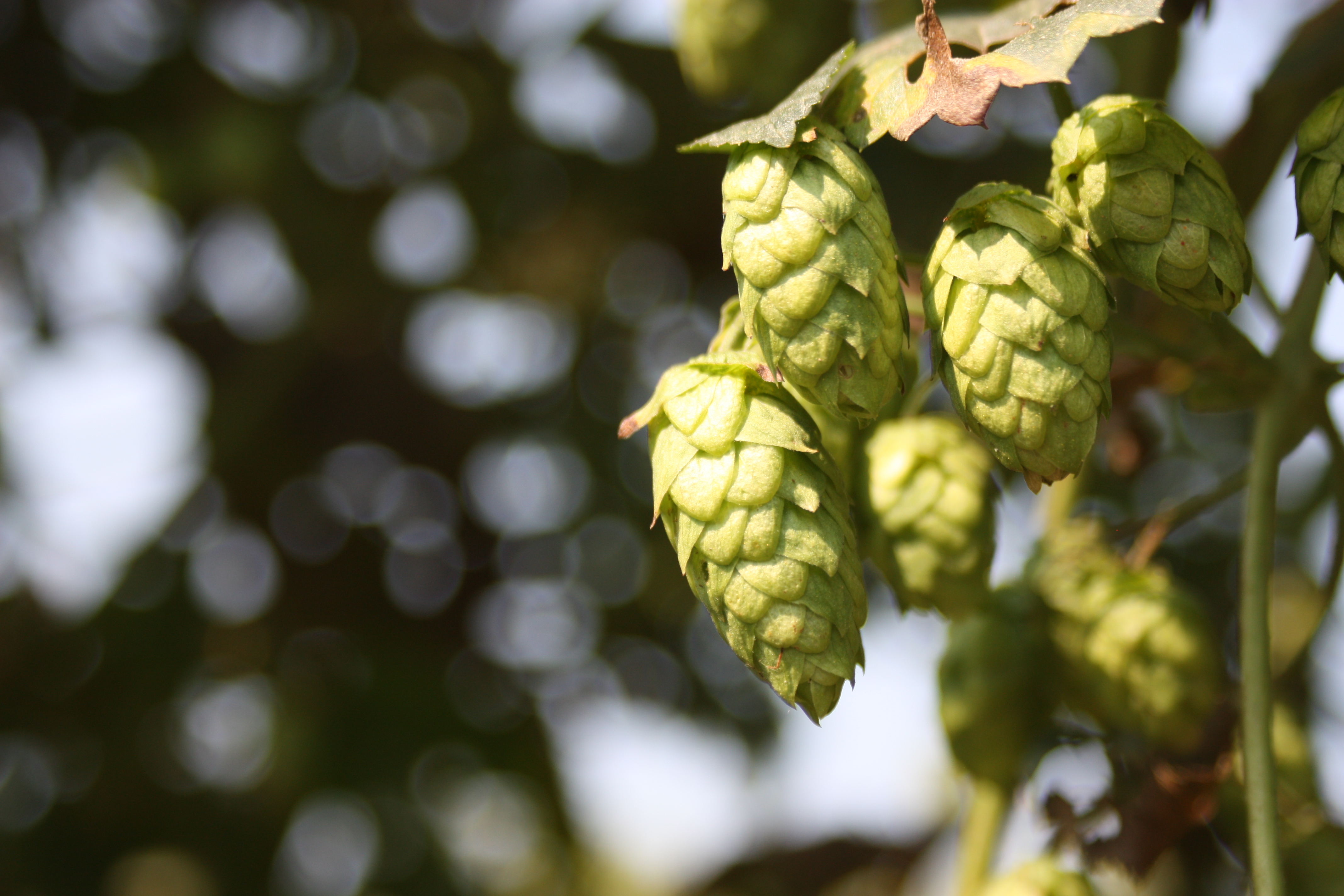 Brewers Association Funds Public Hop Breeding Program