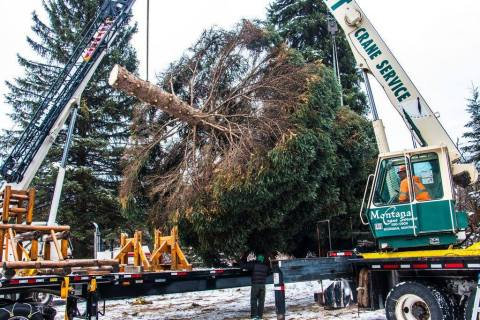 The Capitol Christmas Tree getting cut down in the Kootenai National Forest in Libby, Montana (Photo: Business Wire)