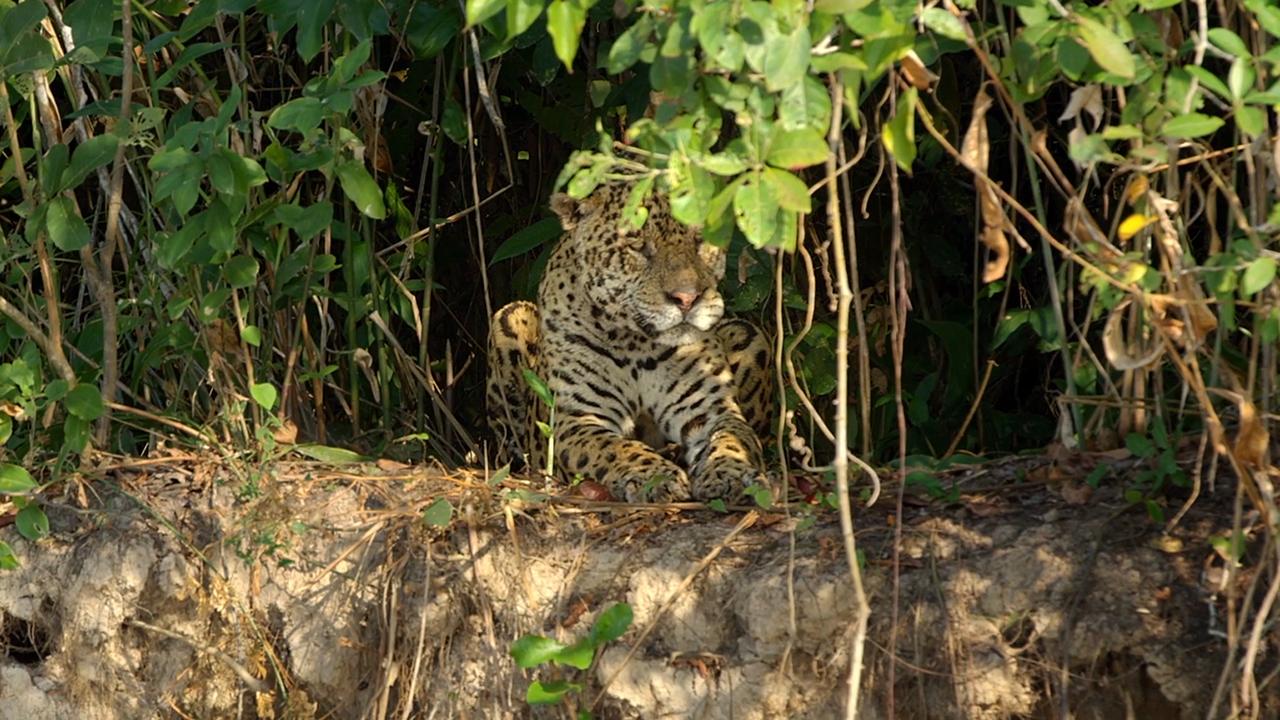 Sneak Peek of Big Cat Week's 'Jaguar vs. Croc'
