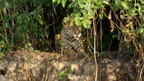Sneak Peek of Big Cat Week's 'Jaguar vs. Croc'
