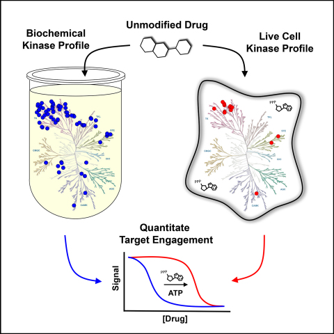 A recent article in Cell Chemical Biology demonstrates that Promega Corporation's new NanoBRET™ Target Engagement (TE) Intracellular Kinase Assay is the first assay to quantify inhibitor drug engagement with kinase proteins inside live human cells. Broad spectrum, quantitative live-cell profiling using full-length kinases reveals improved intracellular selectivity for clinically relevant kinase inhibitors compared to biochemical profiling. These live-cell kinase NanoBRET TE assays further enable a mechanistic assessment of the effect of cellular ATP on inhibitor potency. (Graphic: Business Wire)