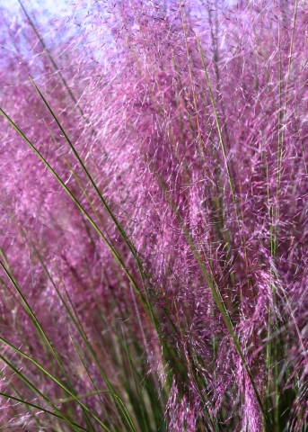 Stately and showy foliage, with exceptional upright and slightly arching form, Muhlenbergia capillaris 'Irvine' Plumetastic® features glittering clouds of vivid purple-pink plumes that emerge in late summer and persist through fall. It has an outstanding texture for specimen plant or en masse in borders, meadows, and native gardens. This beauty is part of the Monrovia Collection and is a Village Nurseries semi-exclusive. (Photo: Business Wire)