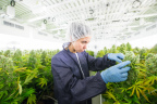 Medical cannabis is grown at Tilray's state-of-the-art medical cannabis cultivation and processing facility in Nanaimo, British Columbia. (Photo: Business Wire)