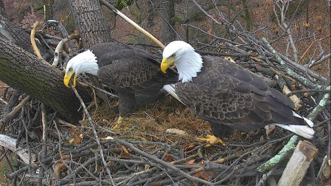 The DC Eagle Cam relaunches on December 31, 2017, just in time to ring in the New Year. Pictured here are bald eagle pair Mr. President and The First Lady inside their nest atop a Tulip Poplar Tree, preparing for another breeding and nesting season at the National Arboretum in Washington, D.C. This eagle nest cam project now features new audio equipment and two new high-definition 'pan-tilt-zoom' video cameras that will soon be streaming 24/7. Watch & Listen live on www.dceaglecam.org. The DC Eagle Cam is now one of the most popular live animal cams on the internet today with approximately 94 million views since its 2016 inception from more than 100 countries, such as the USA, Canada, Germany, United Kingdom, Australia, Brazil, Belgium, Netherlands, Ireland, Poland and Russia. (Photo: Business Wire)