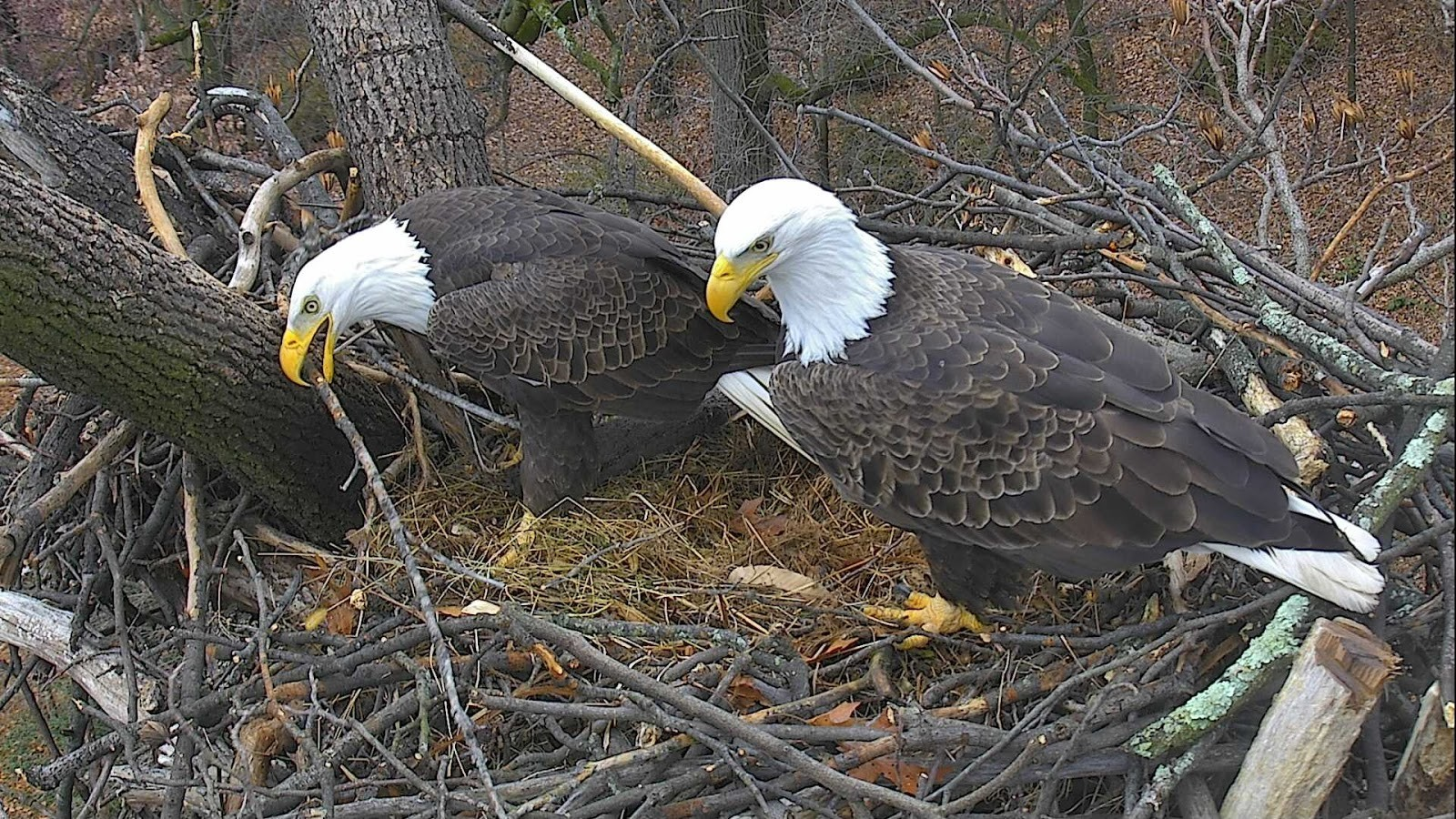 Join Bald Eagles 'Mr. President' & 'The First Lady' for ...