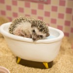 """First in Japan! Instagenic """"Hedgehog Home & Cafe"""" Newly Opened in Shibuya, TOKYO"""