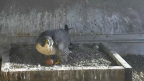 A peregrine falcon guards the first egg in her nest atop PG&E's San Francisco headquarters. (Photo: Business Wire)
