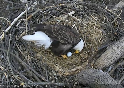 "Bald Eagles ""Mr. President"" and ""The First Lady"" laid the first egg of 2018 into their National Arboretum nest in Washington, DC. They possibly will lay a second egg right before Easter weekend. Viewers at home can find out by watching the DC Eagle Cam LIVE at dceaglecam.org. (Photo: Business Wire)"