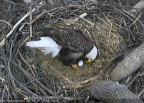 """Bald Eagles """"Mr. President"""" and """"The First Lady"""" laid the first egg of 2018 into their National Arboretum nest in Washington, DC. They possibly will lay a second egg right before Easter weekend. Viewers at home can find out by watching the DC Eagle Cam LIVE at dceaglecam.org. (Photo: Business Wire)"""