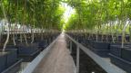 The plants produced by Seven Star Fruits, a company of Mahyco Grow, using the Phytelligence MultiPHY™ process will support higher density planting systems, which results in higher yields per acre and more sustainable production. (Photo: Business Wire)